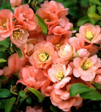 Cameo Flowering Quince - Live Healthy Established Rooted - 3 Plants in 3.5� Pots