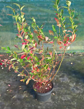 5 ltr Blueberry plant( fruit this year)