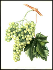 Grape Chasselas Blussard Blanc 1855 Alexandre Bivort Hand-Colored Lithograph