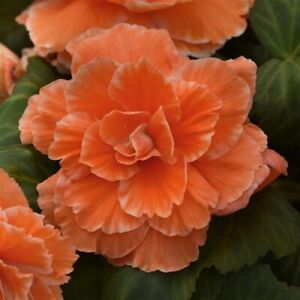 Begonia Seeds 15 Pelleted Seeds Amerihybrid Picotee Apricot Lace