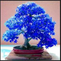 Bonsai Mini Beautiful Blue 30 PCS Seeds Maple Tree Flower Plants Garden Home NEW
