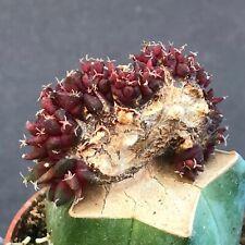 438. Ariocarpus 'Cristata Purple Variegata'