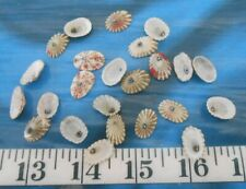 ~ Barbados Miscellaneous Limpet Shells ~ 20 ~ Shellcraft ~ Sailor's Valentines ~