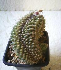 S713  COPIAPOA Tenuissima Cristata 9,0cm.  . cactus, suculenta.
