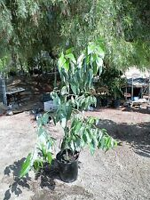 Grafted Sirprize avocado fruit tree 3- 4 ft tall