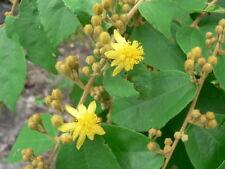 rare fruit -- grewia flavescens donkey berry -- 5 seeds