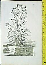 Gnaphalium Americanum minus flore,Abraham Munting,are&large Engraving,1696 #614