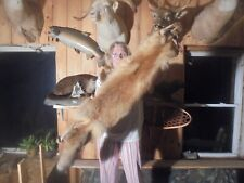 "49""#5 Monster Adirondack Mt Fancy Cherry Red Fox Pelt/Taxidermy/Fur/Coyote"