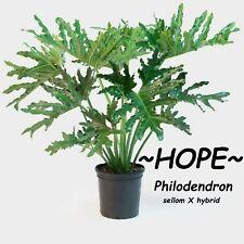 ~HOPE~ Split-leaf Philodendron bipinnatifidum 6-12+inch nice Small Potd PLANT