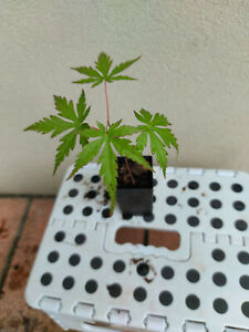 5 x Japanese Maple seedlings in 50mm tubes. Plants itself 10cm tall.
