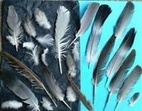 FREE FALLEN real feathers x 30 SEAGULL, Magpie, PIGEON, Toys 4 cats UK FREE P&P