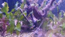 Caulerpa Prolifera - 10 Lames