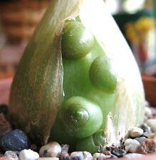 Pregnant Onion ornithogalum caudatum rare succulent bulb False Sea seed 15 seeds
