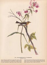 "1942 Vintage AUDUBON BIRDS #135 ""BLACKBURNIAN WARBLER"" Ful Color Art Plate Litho"