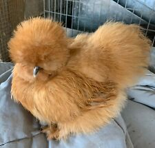 8+  Bearded Silkie Hatching Eggs Assorted Colors  from color separate pen