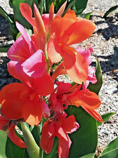 Canna lily Kathys Star BARE ROOTED Hardy Sun Loving Perennial Plant