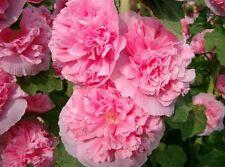 Mallow (Alcea) Rosea Rose Flowers Seeds from Ukraine