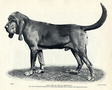 BLOODHOUND LEO OF REYNELTON LOVELY ORIGINAL DOG PRINT PAGE FROM 1934