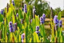 3 Pickerel Rush water garden bog plantKoi Pond Plants