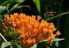 Schmetterlingspflanze @ Asclepias tuberosa @ winterhart @ Seidenblume @ 5 Samen
