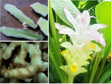 *UNCLE CHAN* 2 OZ WHITE TURMERIC RARE FRESH RHIZOME Curcuma mangga HERB EDIBLE