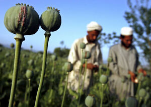 Afghan Blue Poppy Seeds 50 000 seeds
