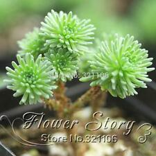 100 PCS Sedum Multiceps Seeds Succulent Flower Plants Seed Purify the Air DIY