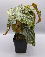 Large Begonia Rare Plant, Spotted Begonia