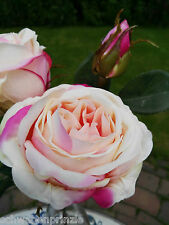 Wie Echt ! Prächtige Englische Rosen Kunstblume Seidenblume Textilblume  Apricot