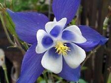 25+ Blue Star Aquilegia Columbine / Perennial Flower Seeds