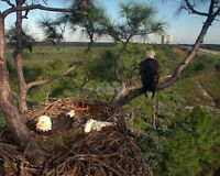 RARE IMAGE OF EAGLES NESTING AT KENNEDY SPACE CENTER - 8X10 NASA PHOTO (AA-192)