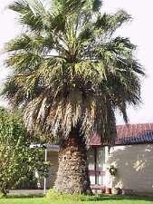 Größte winterharte Palmen Washingtonia filifera mediterrane Bäume für den Garten