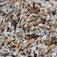 100pcs Natural Beautiful top rare real sea Shell Conch YBK25