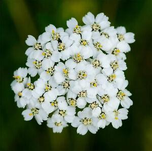 500 x Yarrow Achillea Millefolium Wildflower Seeds Delicate White Flowers Seed