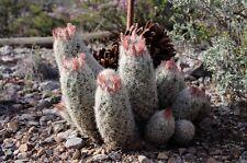 Escobaria orcuttii v koenigii Hardy Ball Cactus Seeds!
