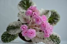 New listing African Violet 'Rose Bouquet' - Blooming Plant