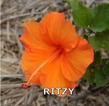 HIBISCUS PLANT X1 EXOTIC EVERGREEN TROPICAL HAWAIIAN  FLOWER PLANTS RITZY