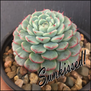 Echeveria 'Minima' - Tiny Rosette succulent