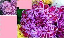 20 x Chrysanthemum Purple Plant Flower SEEDS Rare Seed Fresh fragrant #43