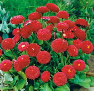 POMPONETTE DAISY RED BELLIS (belis perennis) aprox.300seeds. RARE RED COLOUR!