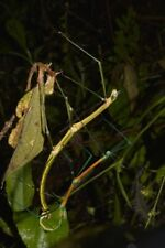 20 Œufs/Eggs of Periphetes quezonicus (stick-insect / phasmids / Phasme)