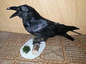 Stuffed European Raven Taxidermy