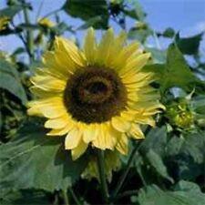 Sunflower- Lemon Queen- 100 Seeds