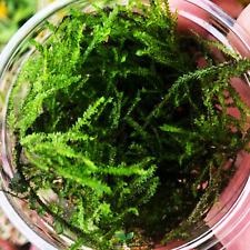 Java Moss Full Cup Vesicularia Dubyana B2G1 Live Aquarium Plant Carpet Fern Fern