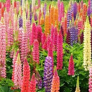25 Rainbow Mix Lupine Seeds Flower Perennial Seed Bloom Flowers 363 US SELLER