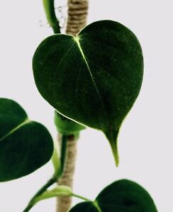 Rare Aroid Philodendron LUPINUM CORRUGATED VELVET LEAF House Plant Cutting Leaf