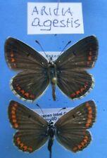 LYCAENIDAE ARICIA agestis, cpl., ex YU/HR