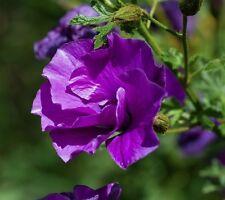 Blauer Hibiskus•30 Samen/seeds •Alyogyne huegelii•Purple Hibiscus•Seideneibisch