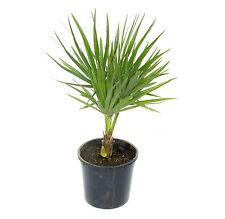 Chamaerops humilis 55 cm Zwergpalme Zimmerpflanze