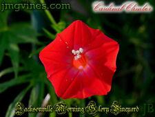 Cardinal Climber Ipomoea Sloteri Morning Glory 8 Seeds